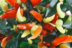 Nahaufnahme der bunten Frucht des Paprikas Lizenzfreie Stockbilder