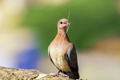 Nahaufnahme der bunten Taube, Taube mit kleiner Niederlassung Stockbilder