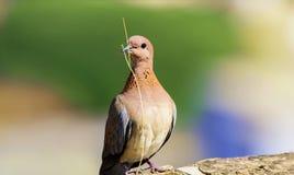 Nahaufnahme der bunten Taube, Taube mit kleiner Niederlassung Lizenzfreie Stockfotografie