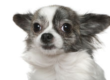 Nahaufnahme der Chihuahua, 15 Monate alte Stockbilder