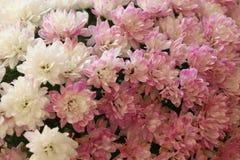 Nahaufnahme der Chrysantheme mit Kopienraum mit einem unscharfen Hintergrund Lizenzfreie Stockfotografie