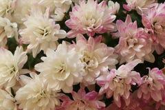 Nahaufnahme der Chrysantheme mit Kopienraum mit einem unscharfen Hintergrund Stockbild