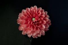 Nahaufnahme der Dahlienblume in der Blüte Lizenzfreie Stockbilder