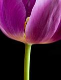 Nahaufnahme der dunklen rosafarbenen Tulpe auf Schwarzem Lizenzfreies Stockfoto