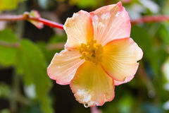 Nahaufnahme der einzelnen rosa gelben Hibiscusblume Stockfotos