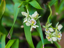 Nahaufnahme der Encyclia Radiata-Orchideen-Blume Stockbilder