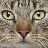 Nahaufnahme der europäischen Shorthair Katze Lizenzfreies Stockfoto