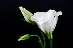 Nahaufnahme der Eustomablume auf einem schwarzen Hintergrund Stockbild