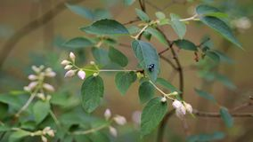 Nahaufnahme der Fliege auf schöner Jasminblume im Sommerwald stock video
