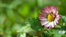 Nahaufnahme der Frühlingsblume Lizenzfreies Stockbild