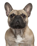 Nahaufnahme der französischen Bulldogge, 2 Jahre alt stockfotografie