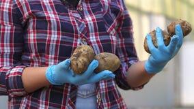 Nahaufnahme der Frau in den blauen Handschuhen, die Kartoffeln im Garten halten stock footage