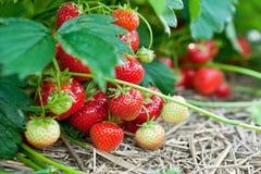 Nahaufnahme der frischen organischen Erdbeeren Stockfotografie