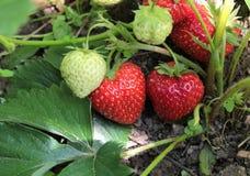 Nahaufnahme der frischen organischen Erdbeeren stockbild