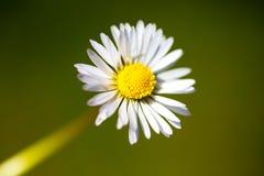 Nahaufnahme der Gänseblümchenblume stockbild