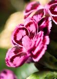 Nahaufnahme der Gartennelke oder des Rosas lizenzfreie stockfotos