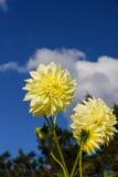 Nahaufnahme der gelben Dahlie stockfoto