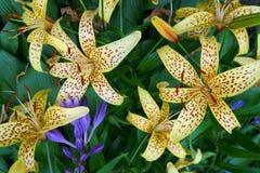 Nahaufnahme der gelben Tigerlilie und einer blauen Glocke lizenzfreie stockbilder
