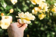 Nahaufnahme der Gelbrose in einer Hand Stockbilder