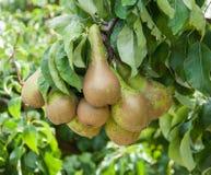 Nahaufnahme der geschmackvollen Birnen, die an einem Baum hängen Stockfoto