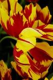Nahaufnahme der gestreiften gelben und roten Tulpen Stockfotografie
