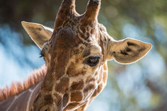 Nahaufnahme der Giraffe Lizenzfreie Stockfotografie