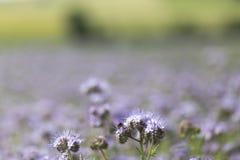 Nahaufnahme der Glockenblume - Phacelia-tanacetifolia Lizenzfreies Stockfoto