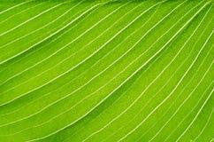 Nahaufnahme der grünen Blatt Callablume Lizenzfreie Stockfotografie
