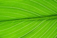 Nahaufnahme der grünen Blatt Callablume Stockbilder