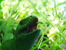 Nahaufnahme der grünen Eidechse Stockfotografie
