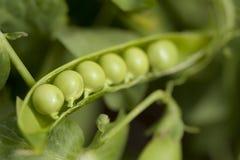 Nahaufnahme der grünen Erbse Stockfotos
