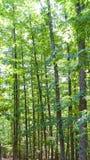 Nahaufnahme der grünen Kastanienwaldungs-Vertikalenzusammensetzung Lizenzfreie Stockfotos