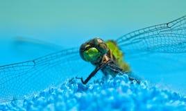 Nahaufnahme der grünen Libelle Stockfotografie