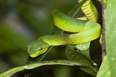 Nahaufnahme der grünen Viper Stockfoto