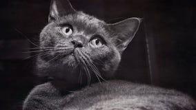 Nahaufnahme der grauen Katze, netter Moment von Britisch Kurzhaar-Zucht der Katze, abstrakte Beschaffenheit, Weinlese maserte Fot Stockfoto