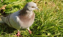 Nahaufnahme der grauen und braunen Taube mit orange Augen, auf Wiesenhintergrund, Vogel im Park stockfotografie