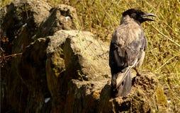Nahaufnahme der grauen und schwarzen Krähe, auf den Felsen nahe der Wiese, Gras, wildes Tier, Vogel Lizenzfreie Stockfotos