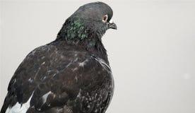 Nahaufnahme der grauen und weißen Taube mit großen braunen Augen und einigen grünen fethers auf dem Hals, lokalisiert auf weißem  Lizenzfreies Stockfoto