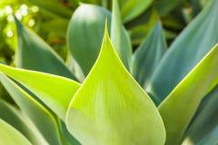 Nahaufnahme der grünen Agavenanlage Lizenzfreies Stockfoto