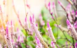 Nahaufnahme der Hahnenkammblume oder chainese Wolle blüht im Garten Lizenzfreie Stockbilder