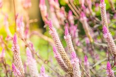 Nahaufnahme der Hahnenkammblume oder chainese Wolle blüht im Garten Lizenzfreies Stockbild
