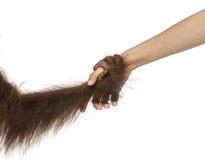 Nahaufnahme der Hand eines jungen Bornean-Orang-Utans, die eine menschliche Hand hält Lizenzfreie Stockbilder
