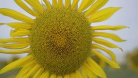Nahaufnahme der hellen gelben Sonnenblume, die auf dem Feld wächst Verbindung mit Natur Landwirtschaftlicher Lebensstil Natur-Sch stock video footage