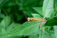 Nahaufnahme der Heuschrecke auf Blumen-Blatt Lizenzfreie Stockfotografie