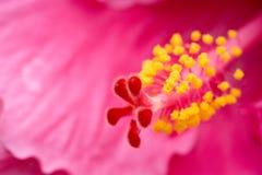 Nahaufnahme der Hibiscusblume Stockbild