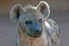 Nahaufnahme der Hyäne Lizenzfreie Stockbilder
