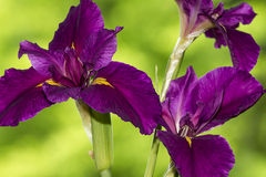 Nahaufnahme der Irisblume Stockbild