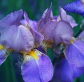 Nahaufnahme der Irisblume Stockbilder