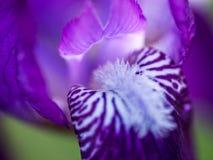 Nahaufnahme der Irisblume Lizenzfreie Stockbilder