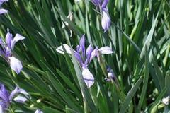 Nahaufnahme der Irisblume im Frühjahr Stockbild